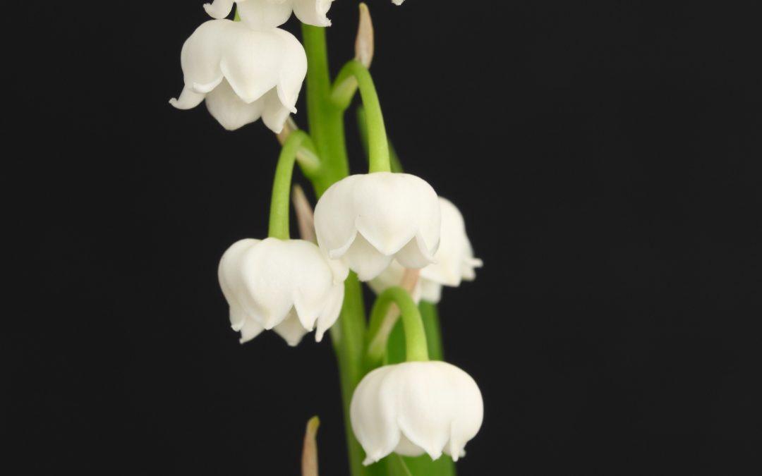 Meadowsweet aka…filipendula ulmaria is used as an herbal medicine